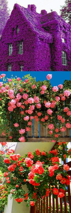 US$3.99 + Free shipping. 100Pcs climbing plants, climbing flower, colorful rock perfume rainbow cress flower seeds.