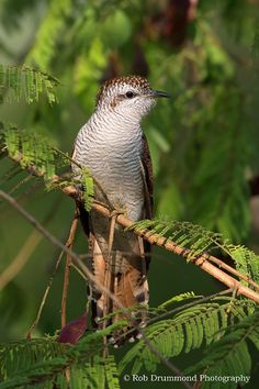Banded Bay Cuckoo, Thailand by Rob Drummond