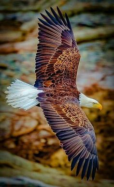The Bald Eagle - finest of all the Eagles! The Eagles, Types Of Eagles, Bald Eagles, Eagle Pictures, Animal Pictures, Exotic Birds, Colorful Birds, Yellow Birds, Colorful Animals