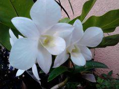 Philippine orchids