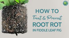 How to Treat and Prevent Root Rot in Fiddle Leaf Fig Plants Types Of Houseplants, Ficus Elastica, Fiddle Leaf Fig Tree, Bacterial Infection, Tree Care, Fig Leaves, Tree Roots, Plant Care, How To Dry Basil