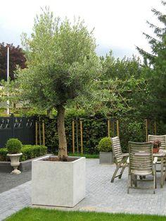 Mediterrane Tuin - Mediterranean Garden - Mediterraanse Tuin - Olijfboom