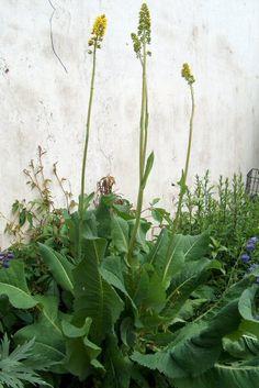 Perennat - Isonauhus, Ligularia macrophylla