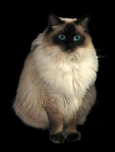 Seal Point, Blue Point Ragdoll, Female Ragdoll Cats Ontario, Ragdoll Show Cat, Montreal Ragdoll