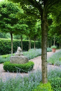 robinia Robinia pseudoacacia 'Umbraculifera' underplanted with Nepeta 'Six Hills Giant'   Manor Gardens