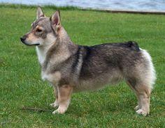 Вестготский шпиц (Шведский вальхунд) Vasgotaspets -единственная низкорослая порода среди северных собак. Его родина  плодородная Вестготская долина, расположенная между озерами Венерн и Веттерн. (VSS) это старинная шведская порода, история которой насчитывает более 1000 лет. Первые упоминания о ней датируются 8-9 веком. Приблизительно в это время происходили очень частые, разрушительные набеги викингов на юго-западное побережье Уэльса.