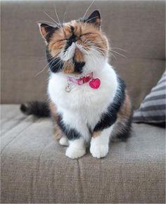 adorable, cutest, exotic shorthair, famous, fluffball, fluffy, furry, japan, little kitten, memebon, tiny