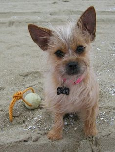 Toxirn Breed... Cairn Terrier / Chihuahua  Dogs.
