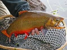 Brook Trout (Salvelinus fontinalis) - FactSheet