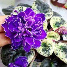 Repost african.violet.sell Blackie Bryant #بنفشه_آفریقایی #بنفشه_آفريقايي #africanviolets #фиалка #fialki #گیاهچه #قلمه #فروش #فروش_بنفشه_آفریقایی #برگ #فروش_قلمه #miniviolet #miniviolets #بنفشه_مینیاتوری #blackie_bryant Saintpaulia, Room With Plants, Herb Seeds, Bride Flowers, Desert Rose, Trees And Shrubs, Flower Seeds, Pansies, Houseplants