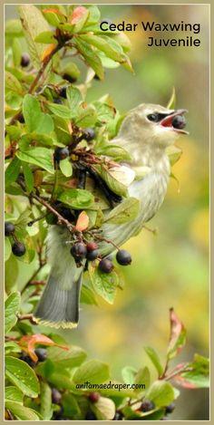 Cedar Waxwing juvenile, RM Montmartre, SK, Sept 2019. Source: Anita Mae Draper Cedar Waxwing, Wildlife, Birds, Blog, Photos, Image, Pictures, Bird, Blogging