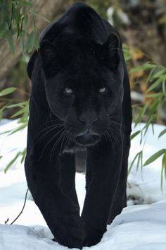 pictures of black panther cats