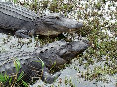 Pair of alligators in Florida's Everglades National  Park. Click image to buy prints.
