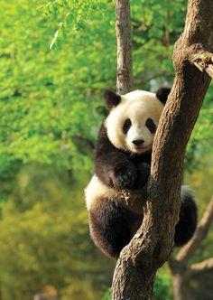 Panda in China.