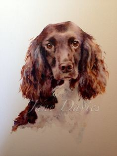 springer spaniel painting in watercolour for a commission piece by artist jane davies