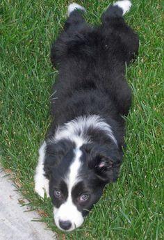 Australian Shepherd puppy  Makes me think of my dog Magic.