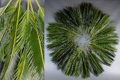 Green Inspiration #Cycas www.adomex.nl Green powers!