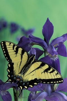Swallowtail on iris by © Gay Bumgarner Images