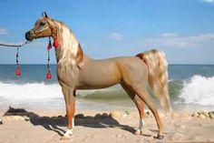 Black Arabian Stallion In The Desert Black chestnut arabian