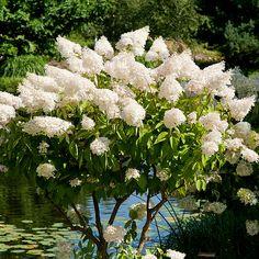 hortensia rabatt Hos oss hittar du vxterna och all - Hydrangea Paniculata Grandiflora, Incrediball Hydrangea, Farmhouse Garden, Shade Garden, Shopping Hacks, Vines, Flowers, Plants, Shops