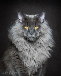 nice Majestic Portraits of Maine Coon cats that become Mythical Creatures