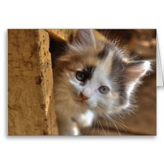 Heterochromia Calico Kitten Cards