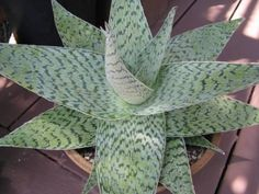 Aloe 'Delta Lights' Kelly Griffin Hybrid - from Cottage Gardens in Petaluma