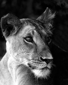 This beautiful black and white depiction of a wild lioness was taken in Samburu National Park, Kenya in 2014.  ** FREE SHIPPING TO US AND