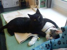 黒猫のRademenesa(オス)は、今ポーランドでもっとも有名な猫となりました。生後2カ月のときに動物保護施設に引き取られ、気道の炎症の治療を受けたのですが、すっかり元気を取り戻すと、今度はなんと他の動物たちの看護をするようになったのです。猫や犬たちの横で、