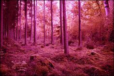 The Pink Forest in Ireland   Google Image Result for http://3.bp.blogspot.com/_8WYCsWWI5YI/TSAUD0TT3wI/AAAAAAAAAAc/V9hp25g4GXg/s1600/pink+forest.jpg