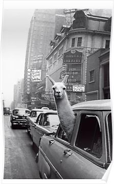A Llama in Times Square. New York. - Inge Morath – Magnum Photos ~ we often take our llama on a road trip . Gray Aesthetic, Black Aesthetic Wallpaper, Black And White Aesthetic, Aesthetic Collage, Aesthetic Vintage, Aesthetic Girl, Nature Aesthetic, Black And White Picture Wall, Black And White Posters