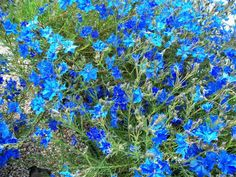 Lechenaultia biloba 'Big Blue' may be short lived - 3 years ish maybe Gothic Garden, Small Shrubs, Centre Pieces, Blue Flowers, Succulents, Gardens, Nature, Plants, 3 Years