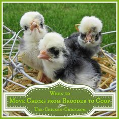 Many factors play a role in determining when the time is right to move chicks from the brooder to the coop and we'll take a look at them here. From The Chicken Chick Best Chicken Coop, Chicken Chick, Building A Chicken Coop, Chicken Runs, Chicken Lady, Cute Chicken Coops, City Chicken, Chicken Cages, Chicken Ideas