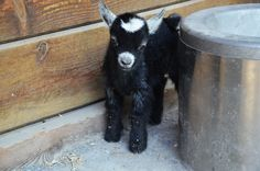 Baby Goat Lana. The Maryland Zoo in Baltimore is happy to announce the birth of an African pygmy goat kid, born June 10 to the zoo' s pygmy goat pair Lex and Lois. Lana weighed 3 pounds, and began to walk approximately one hour after birth
