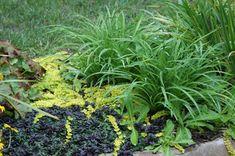 https://flic.kr/p/6XDsja   Lysimachia numularia 'Aurea' & Ajuga 'Black Scallop'