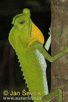 Hump-nosed Lizard (Lyriocephalus Scutatus) ~ By Jan Sevcik
