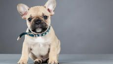11 Charming Facts About French Bulldogs