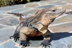 Grand Cayman Blue Rock Iguana at Zoo Med Laboratories.