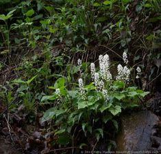 Image result for Tiarella cordifolia L.