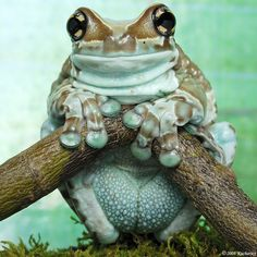 Amazon Milk frog: colors vary, but most have a blueish tint (even to the inside of the mouth).  These large (4 inch) treefrogs are not closely related to the well-known colorful poison dart frogs.