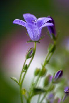 Purple Campanula  by Mandy Usher Florals on Flirck