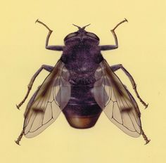 """""""Sericomyia khamensis,"""" a newly discovered flower fly from China"""