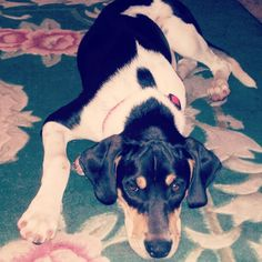 My Walker coonhound Vega