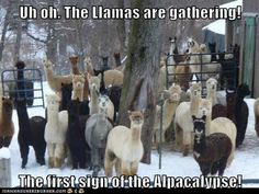 Uh oh. The Llamas are gathering!  The first sign of the Alpacalypse!