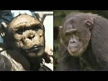 Oliver the chimpanzee - Wikipedia | OLIVER-THE HUMANZEE ...