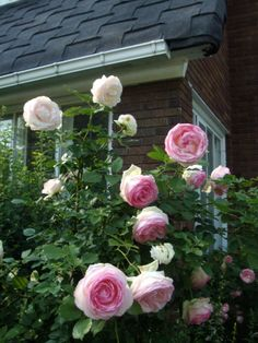 Climbing Eden roses I brought from my last house