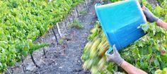 Il sole è con noi a Menfi: abbiamo cominciato la raccolta del Viognier per La Segreta Bianco a Passo di Gurra The sun is with us in #Menfi and today at Passo di Gurra  we have started to harvest the Viognier grapes boud for La Segreta Bianco #vederevendemmia #wine #Winelover  #LaSegretaBianco #Menfishire #Terresicane #harvest #harvest2015 #harvest15 #vendemmia #vendemmia2015 #vendemmia15 #SiciliaDoc  #Photo Salvo Mancuso