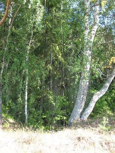 . Forest And Wildlife, Birch, Wood, Places, Woodwind Instrument, Timber Wood, Trees, Lugares