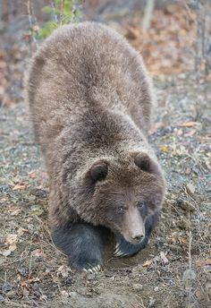 A yearling grizzly bear. Photographed near Carcross, Yukon. It was digging up roots to eat.