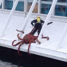 #ネタ #タコ #octopus こわぁ...(i|!゜Д゚i|!)ヒィィィ